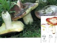 Russula olivacea.