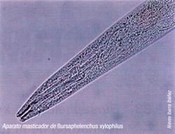 Aparato masticador de Bursaphelenchus xylophilus (Foto:Nieves Ibarra Ibañez).