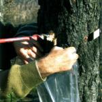 <em>Bursaphelencus xylophilus</em> (Steiner & Bührer): Nematodo de la madera de pino.