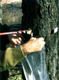 Detalle de la barrena entrando en el árbol durante la prospección del nematodo en Aragón (Foto:Nieves Ibarra Ibañez).