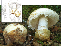 Amanita ovoidea.