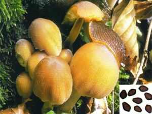 Coprinus micaceus.