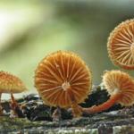 <em>Phaeomarasmius erinaceus.</em>