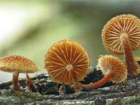 Phaeomarasmius erinaceus.