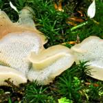 <em>Pseudohydnum gelatinosum.</em>