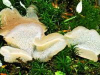 FICHA Pseudohydnum gelatinosum