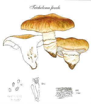 Tricholoma focale.