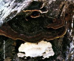 """Típicas formaciones """"palomitas de maiz"""" de Heterobasidion annosum (Foto: Miguel Ángel Ribes Ripoll)."""