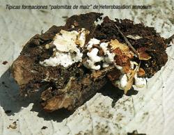 """Típicas formaciones """"palomitas de maiz"""" de Heterobasidion annosum (Foto: Nieves Ibarra Ibáñez)."""
