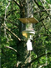 Trampa diseñada para la captura masiva de adultos de Monochamus galloprovinvialis (Foto:Nieves Ibarra Ibañez).