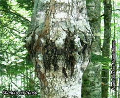 Chancro en tronco (Foto: Ángela Sánchez-Miranda Moreno).