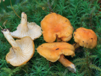 Cantharellus friesii.