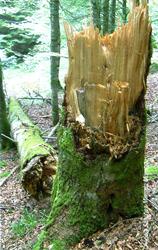 Fractura del árbol a la altura del chacro (Foto: Ángela Sánchez-Miranda Moreno).