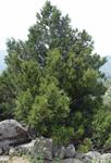 ENP6 El sabinar de sabina albar (Juniperus thurifera L) de Becerril de la Sierra