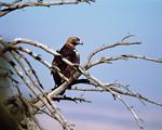EP12 Aguila imperial iberica Situacion en la Comunidad de Madrid