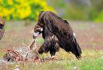 EP7 El buitre negro en el Parque Natural de Penalara