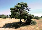 DM4 La situacion de los enebrales madrilenos y la incidencia del parasito Arceuthobium osycedri