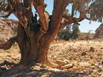 Reportaje fotografico El cipres del Sahara Cupressus dupreziana en el Parque Nacional del Tassili