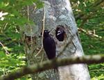 MN5 El picamaderos negro Dryocopus martius en Guipuzcoa-Gipuzkoa