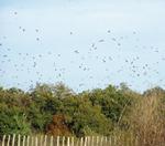 GF6 La migracion postnupcial de palomas torcaces y otras aves en Alava-Araba