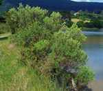 GF10 Control y eliminacion de la especie exotica invasora Baccharis halimifolia en Urdaibai