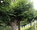 Gestión Forestal: LIFE+ Naturaleza Biodiversidad y Trasmochos