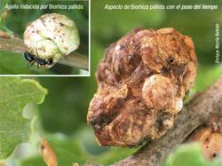 Agalla inducida por Biorhiza pallida (Foto: E. Martín Bernal).