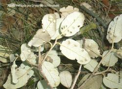 Agalla inducida por Dryomyia lichtebsteini (Foto: E. Martín Bernal).