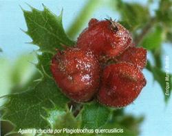 Agalla inducida por Plagiotrochus quercusilicitis (Foto: E. Martín Bernal).