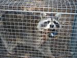 EspI4_El mapache boreal en el Parque Regional del Sureste de la Comunidad de Madrid y su area de influencia